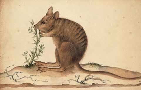 Curieux petit kangourou à dos rayé de la côte ouest de l'Australie, signé Nicolas-Martin Petit.
