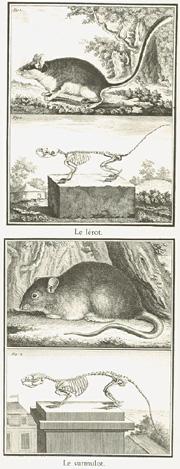 Georges-Louis Buffon (1707 – 1788) Portraitiste de la Nature Hérodote.net_photo2